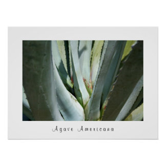 Agave Americana Poster