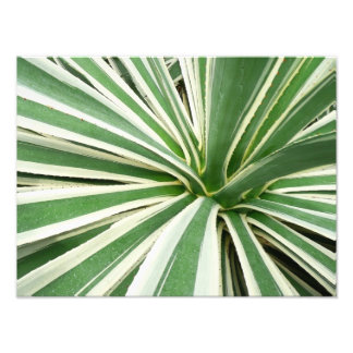 Agave Plant Green and White Stripe Art Photo