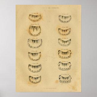 Age of Horse by Teeth Anatomy Vintage Print