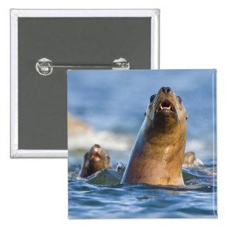 Agressive Stellar Sea Lions Eumetopias 2 Inch Square Button