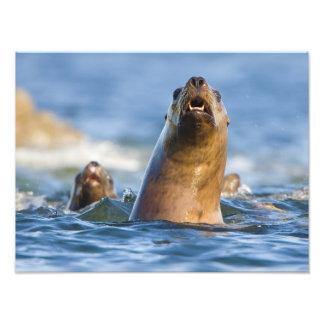Agressive Stellar Sea Lions Eumetopias Art Photo