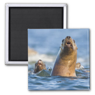 Agressive Stellar Sea Lions Eumetopias Refrigerator Magnets