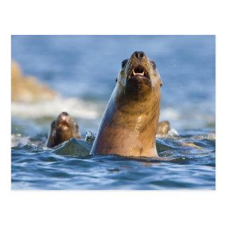 Agressive Stellar Sea Lions Eumetopias Postcard
