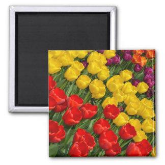 Aimant coloré de tulipes de ressort