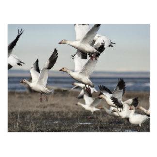 Airborne Snow Geese Postcard