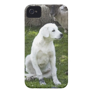 Akbash Dog and Sheep Herd iPhone 4 Covers