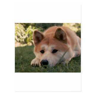 Akita Inu Dog Deep Thoughts Postcard