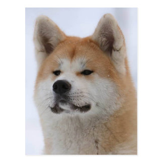 Akita Inu Dog Looking Serious Postcard