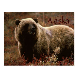 Alaska grizzly bear postcard