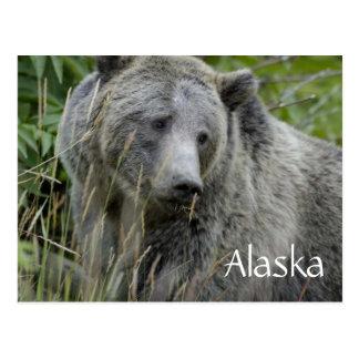 Alaska grizzly bear postcard