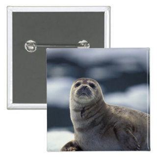 Alaska, southeast region Harbor seal on ice 2 Inch Square Button