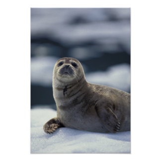 Alaska, southeast region Harbor seal on ice Poster