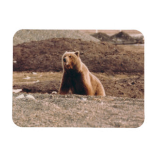 Alaska Tundra Grizzly Sow Arctic Refrigerator Rectangular Photo Magnet