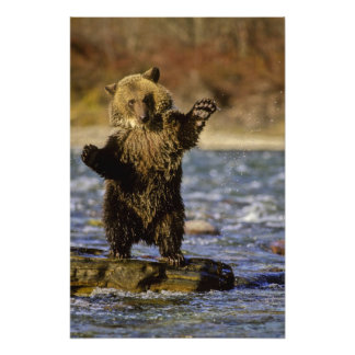 Alaska, USA, Grizzly Bear, Ursus arctos, cub Art Photo
