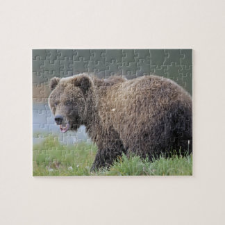Alaskan Brown Bear (Ursus arctos) Wildlife Photo Jigsaw Puzzle