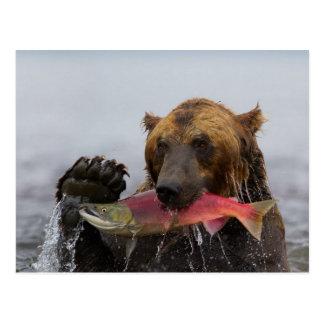 Alaskan Grizzly Bear Catching Salmon Postcard