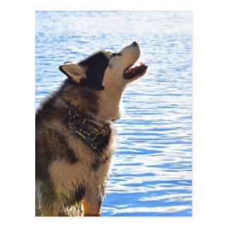 Alaskan Malamute Postcard
