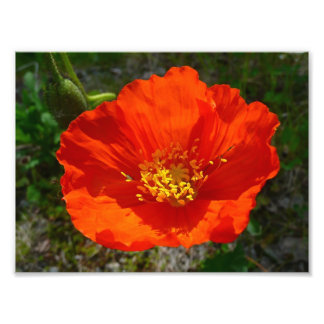 Alaskan Red Poppy Colorful Flower Photographic Print