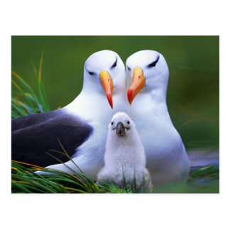 Albatross Family Postcard