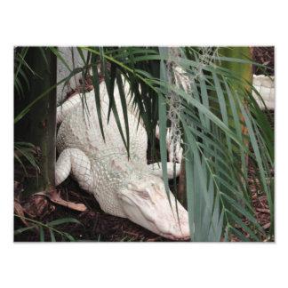 Albino Alligator Art Photo