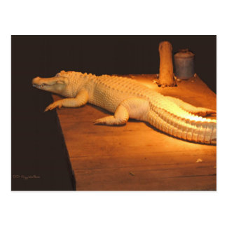 Albino Alligator Postcard