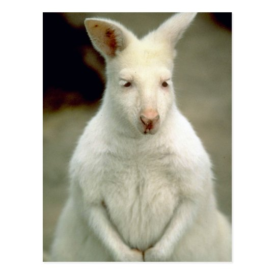 Albino Bennet's Wallaby Postcard
