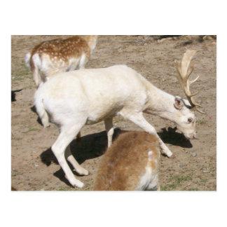 Albino Buck Postcard