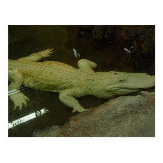 Albino Croc Postcard