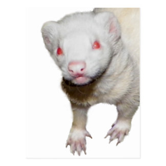 Albino Ferret Picture Postcard