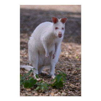 Albino joey in the pocket poster