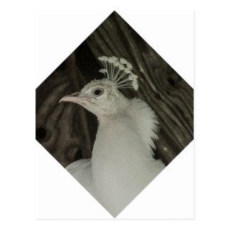 Albino peacock head postcard