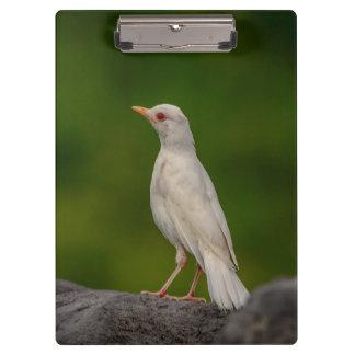 Albino Robin in Crown Point Clipboard