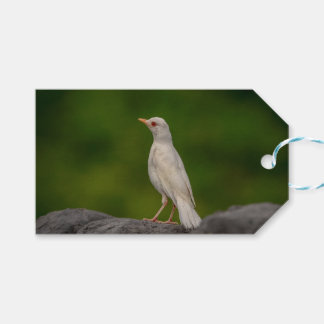 Albino Robin in Crown Point Gift Tags