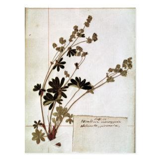 Alchemilla, from a Herbarium Postcard