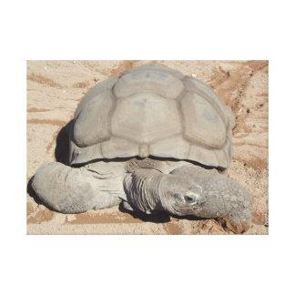 Aldabra giant tortoise on land canvas print