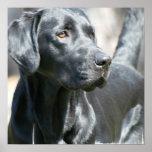 Alert Black Labrador Retriever Dog Poster