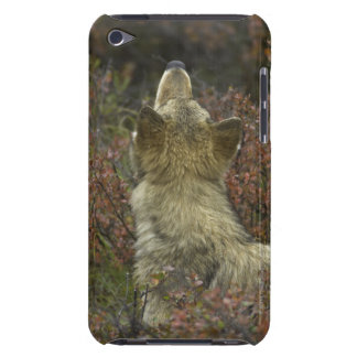 Alert young Grey wolf (Canis lupus) sniffing Barely There iPod Cases