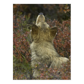 Alert young Grey wolf (Canis lupus) sniffing Postcard