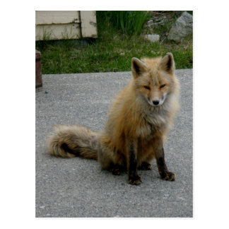 Aleutian Fox at the Senior Center Postcard