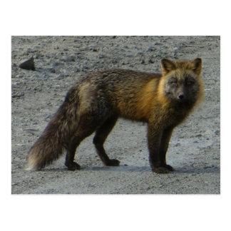 Aleutian Fox on the Road, Unalaska Island Postcard