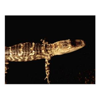 Alligator #3 postcard