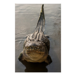 Alligator doing water dance at Gatorland Poster