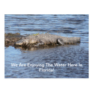 Alligator Gator Postcard