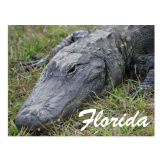 Alligator Postcard