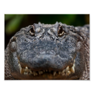 Alligator Waiting For Its Prey Poster