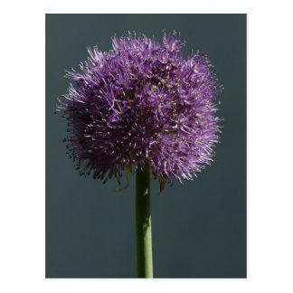Allium Postcard