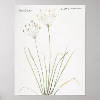 Allium Straitum Poster