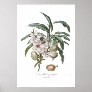 Almond,Amandier a grandes fleurs Poster