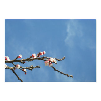 Almond blossoms on a branch photo print