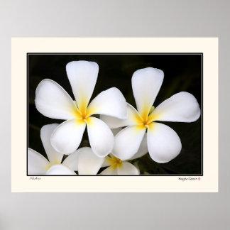 Aloha -Frangipani Blossoms - Hawaii Poster